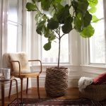 Fiddle Leaf Fig Tree kellyelko.com
