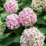 My Hydrangea-less Summer and When to Prune
