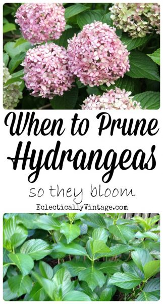 When to Prune Hydrangeas - everything you need to know to get spectacular blooms! kellyelko.com #hydrangea #hydrangeas #perennials #gardening #gardener #tipsandtricks