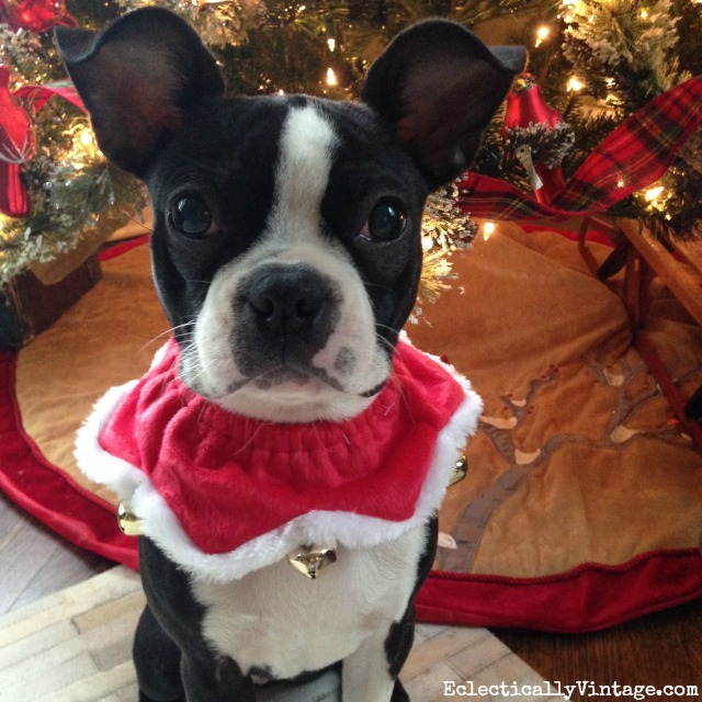 Dogs in Sweaters! Love this jingle bell collar on this adorable Boston Terrier puppy kellyelko.com #petclothes #dogclothes #dogsweater #bostonterrier #kellyelko