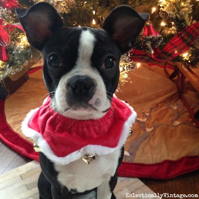 Boston Terrier Christmas kellyelko.com