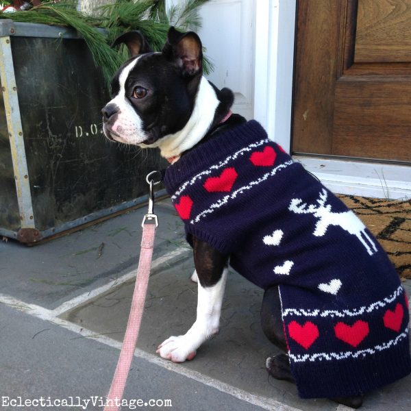 Love this adorable Boston Terrier in her Christmas sweater! kellyelko.com