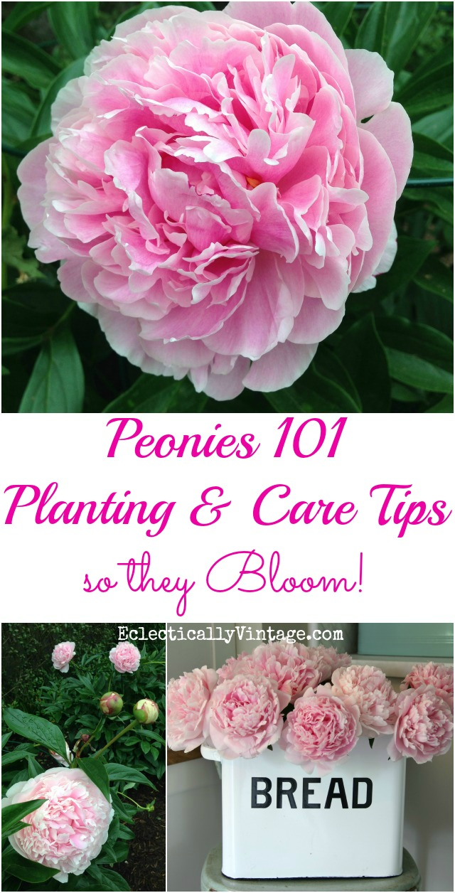 Peonies - Planting and Care Tips so they Bloom! kellyelko.com