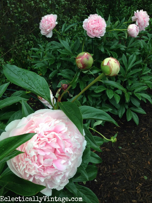 These Sarah Bernhardt peonies are gorgeous and she has such great tips and tricks for planting and caring for peonies kellyelko.com