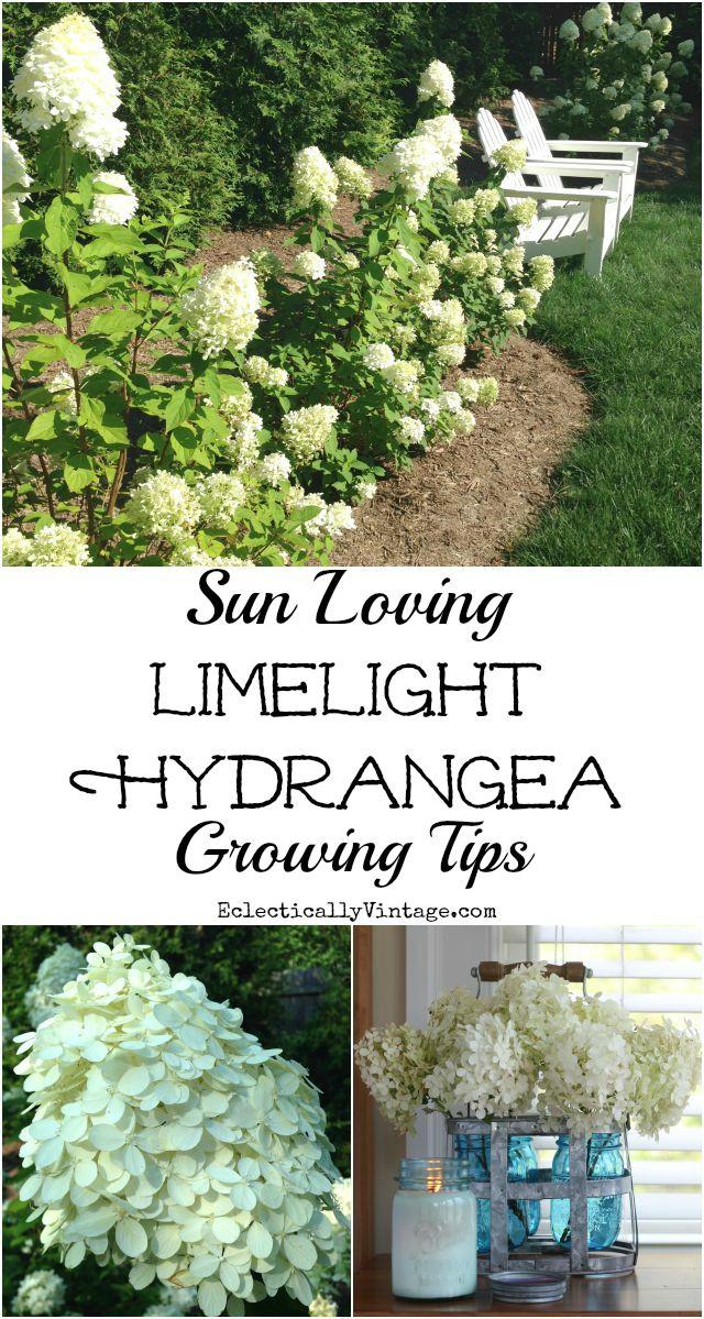 Limelight Hydrangea Growing Tips