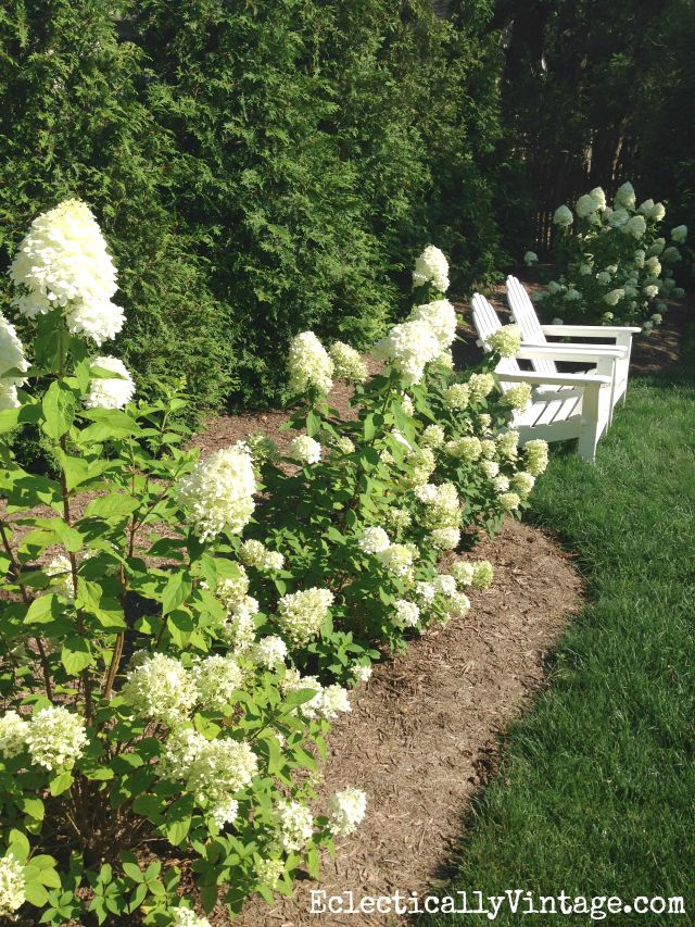 How to Grow Limelight Hydrangeas kellyelko.com