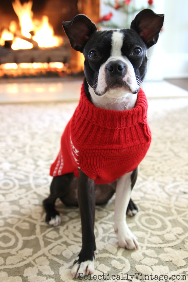 Dogs in Sweaters! Love this red sweater on this Boston Terrier kellyelko.com #petclothes #dogclothes #dogsweater #bostonterrier #kellyelko