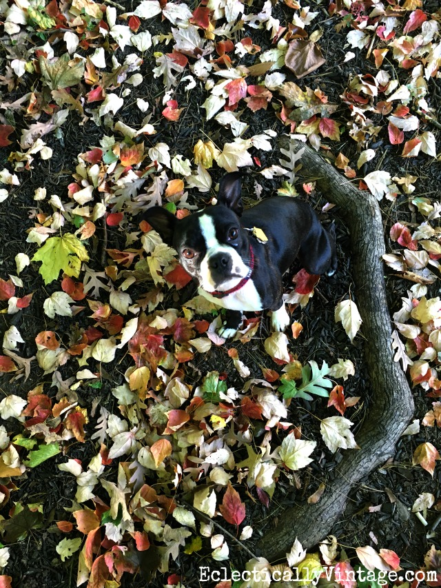 Boston Terrier in the fall leaves kellyelko.com