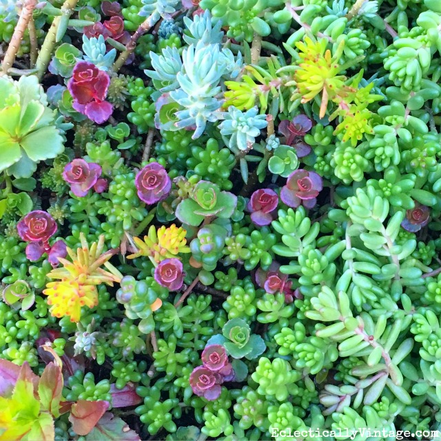 Sedum is so easy to grow - especially with this brilliant tip! kellyelko.com