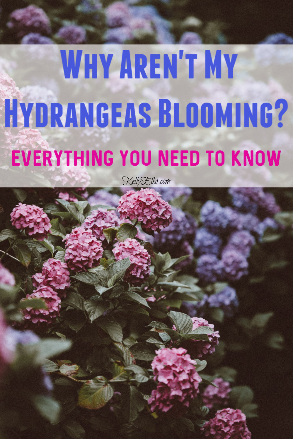 Everything You Need to Know to Get Your Hydrangeas to Bloom kellyelko.com #gardening #gardens #gardeningtips #hydrangeas #hydrangea #perennials #landscaping #flowers