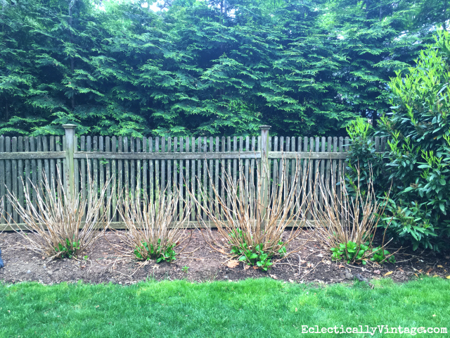Dead hydrangea branches - tips on what to do so they thrive kellyelko.com #gardening #gardeningtips #gardens #perennials #kellyelko