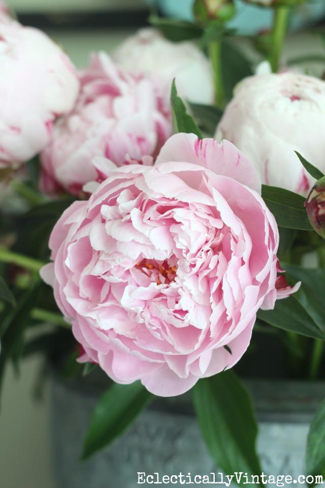 Sarah Bernhardt peonies are so gorgeous in the garden - great growing tips kellyelko.com