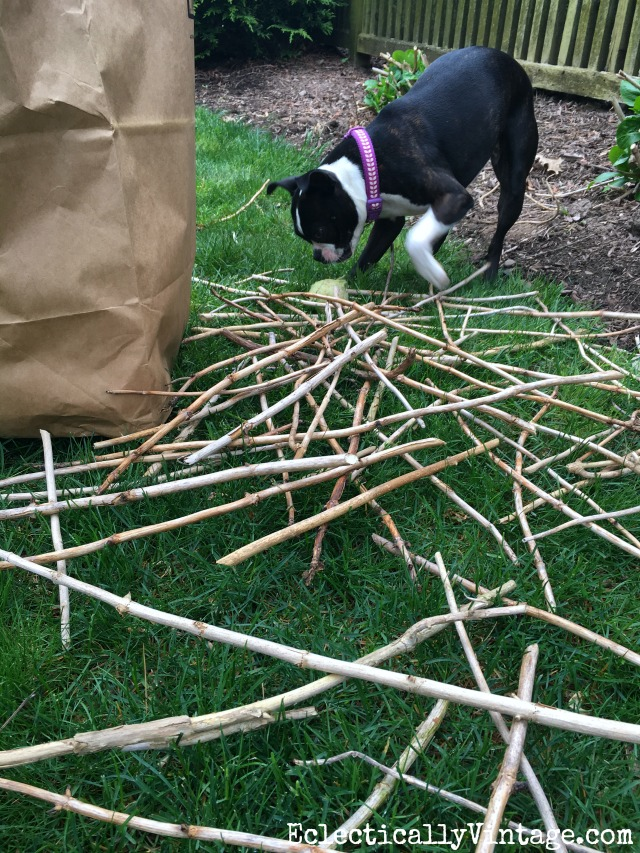 Boston Terrier with a pile of sticks! kellyelko.com #gardening #gardeningtips #gardens #perennials #kellyelko