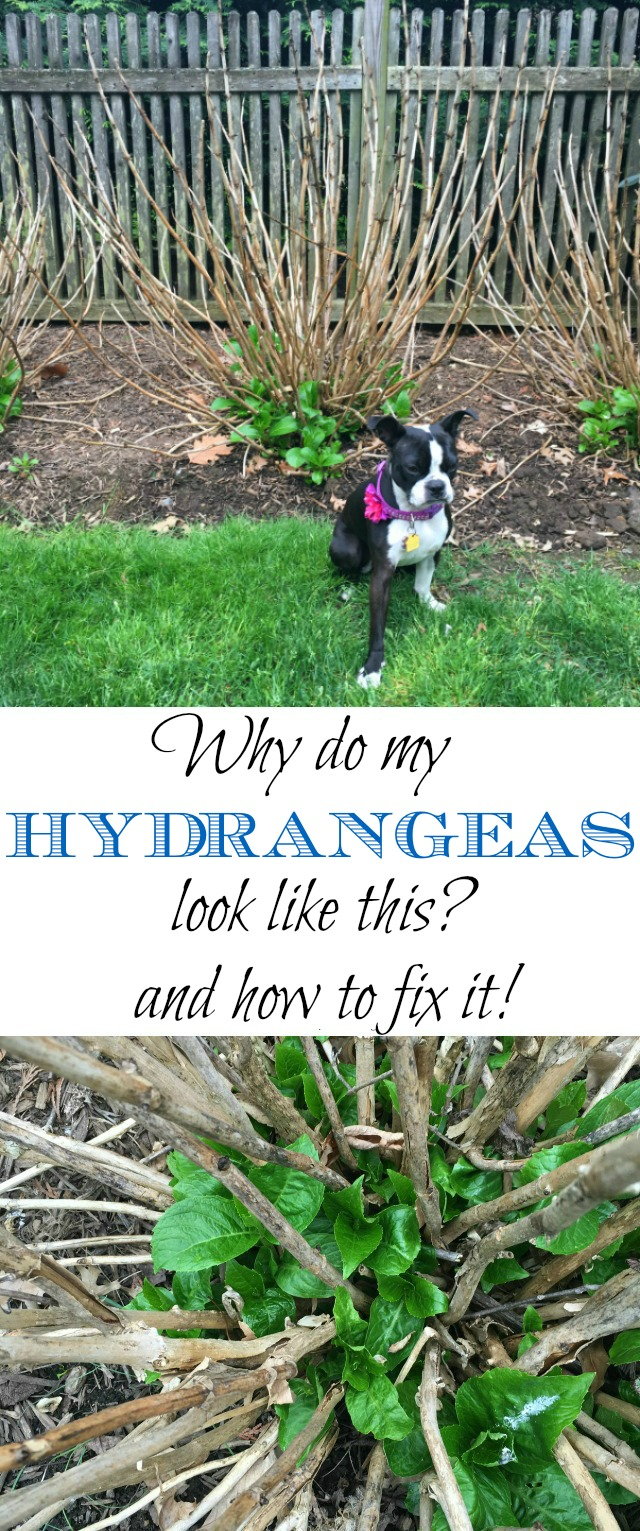 When to prune hydrangeas so they bloom kellyelko.com