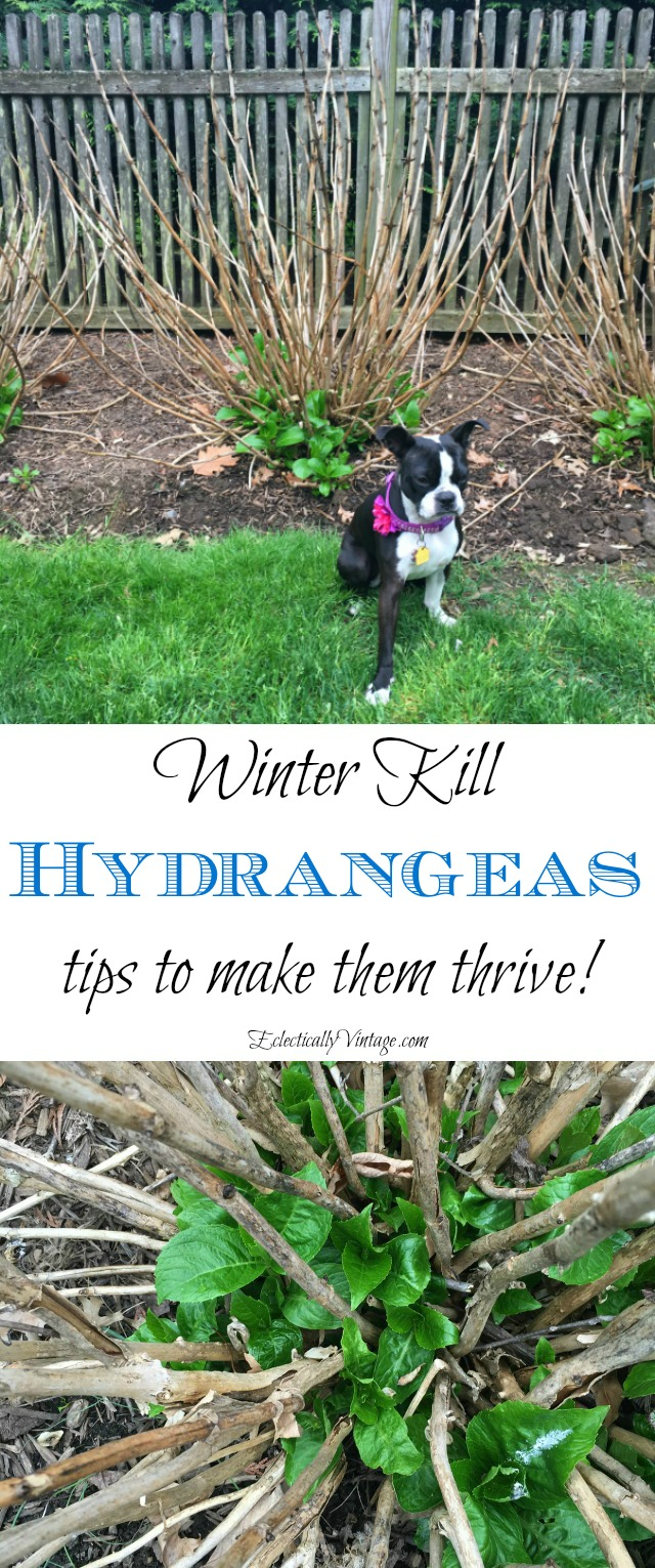 Winter Kill Hydrangea Care - Understand why your hydrangeas are not blooming kellyelko.com #hydrangeas #perennials #hydrangea #gardening #gardener #gardeningtips #winterkill #kellyelko