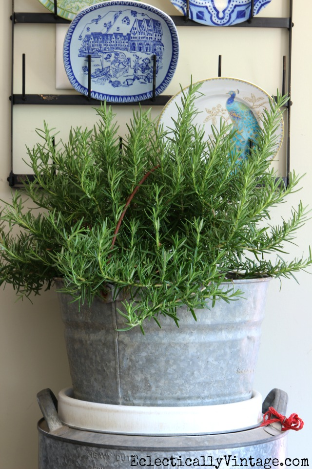 Rosemary bush in a big galvanized bucket kellyelko.com