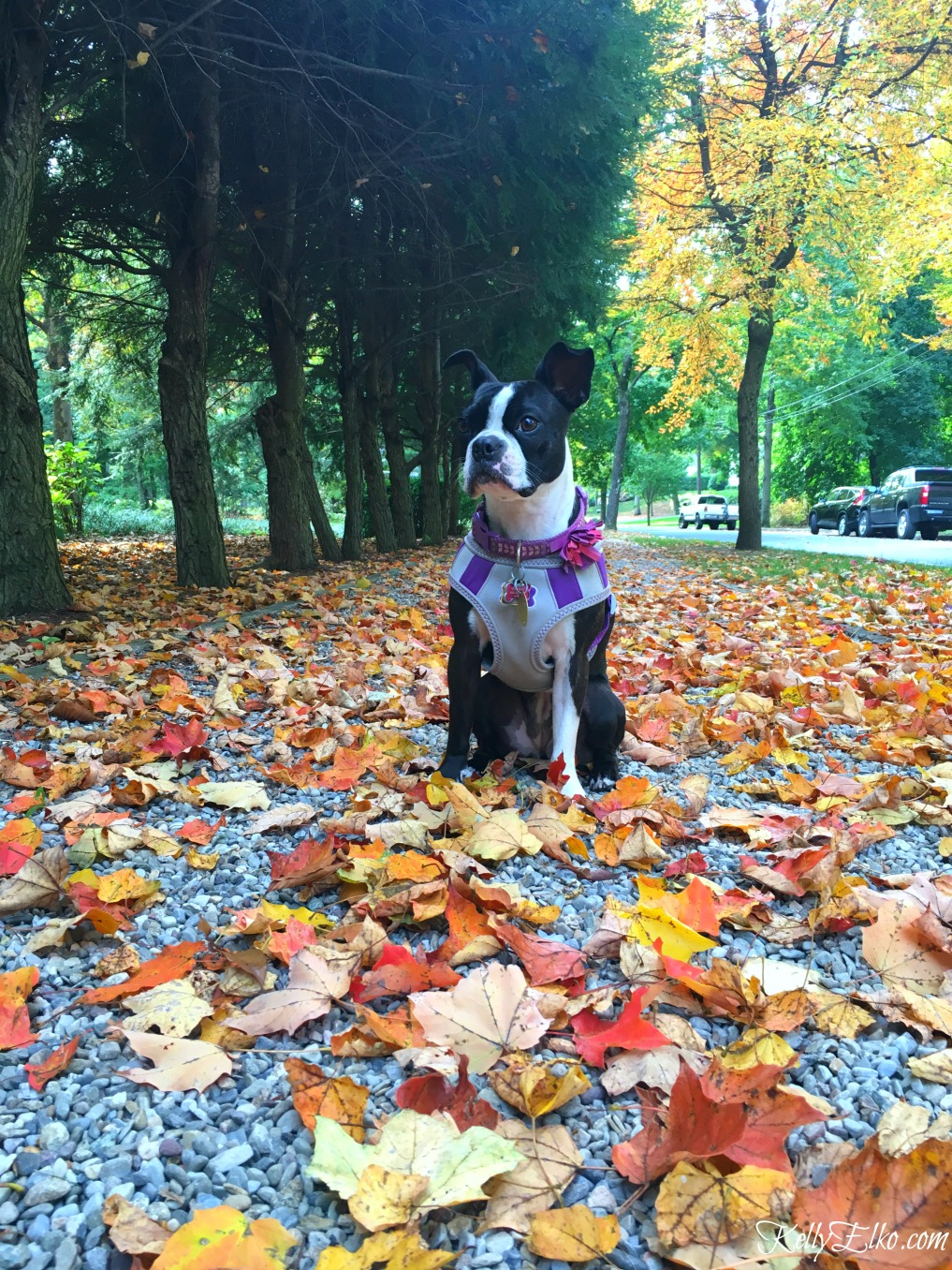 Boston Terrier on a walk through the fall leaves kellyelko.com #fall #fallfoliage #bostonterrier