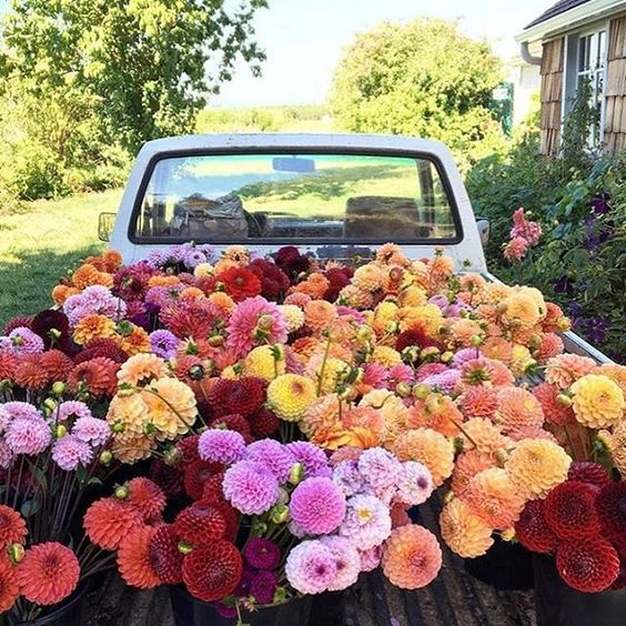 Floret Flower Farms truckload of dahlias kellyelko.com