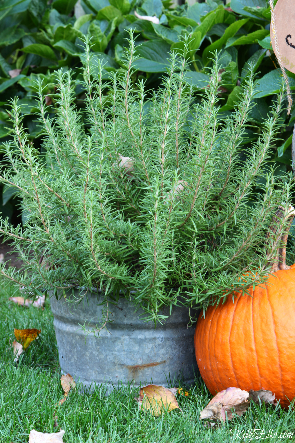 Galvanized bucket of rosemary kellyelko.com