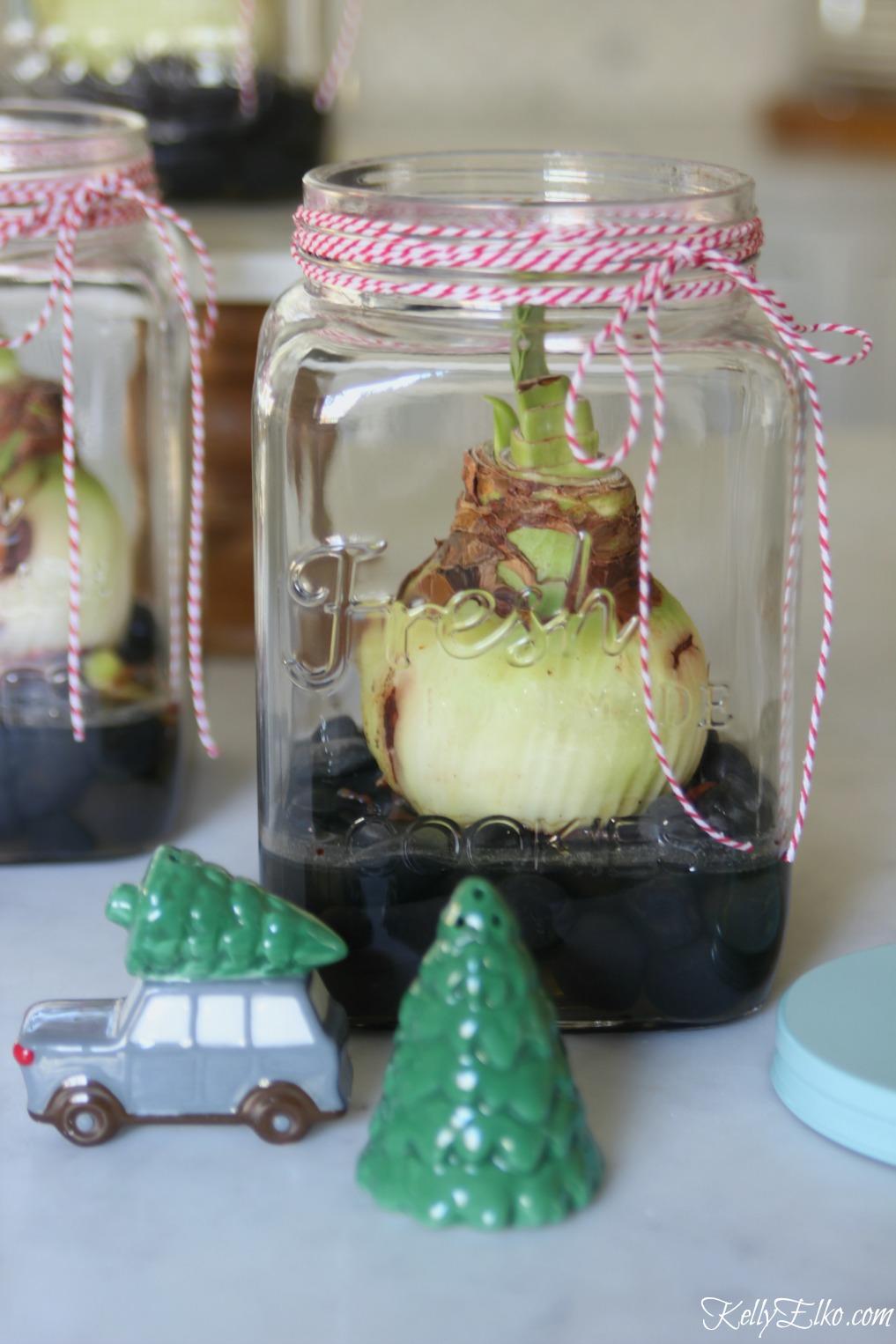 I love this Amaryllis bulb in a jar - make a fun Christmas gift kellyelko.com