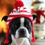 Dogs in Sweaters - love this cute little Boston Terrier in a hat kellyelko.com #dogs #bostonterrier #dogclothes #petclothes