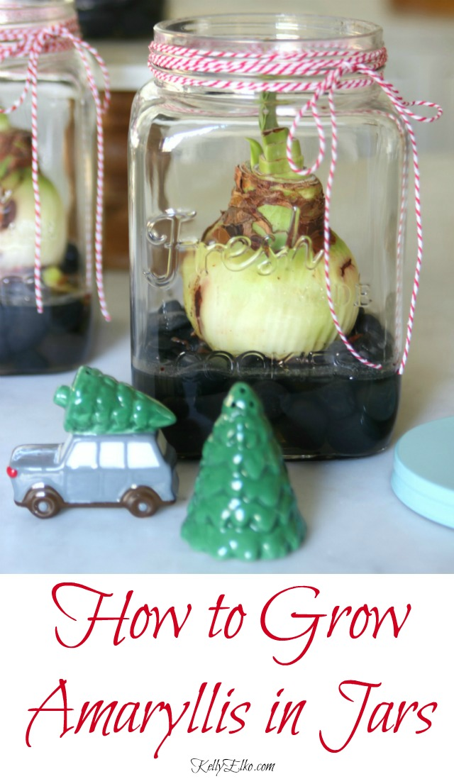 How to Grow Amaryllis in Jars - these make the perfect DIY gift for Christmas! kellyelko.com