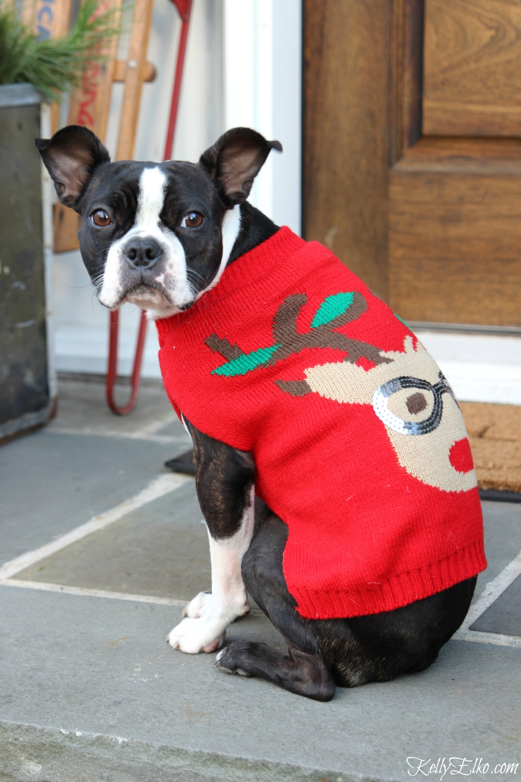 How cute is this Boston Terrier wearing a Christmas sweater! kellyelko.com