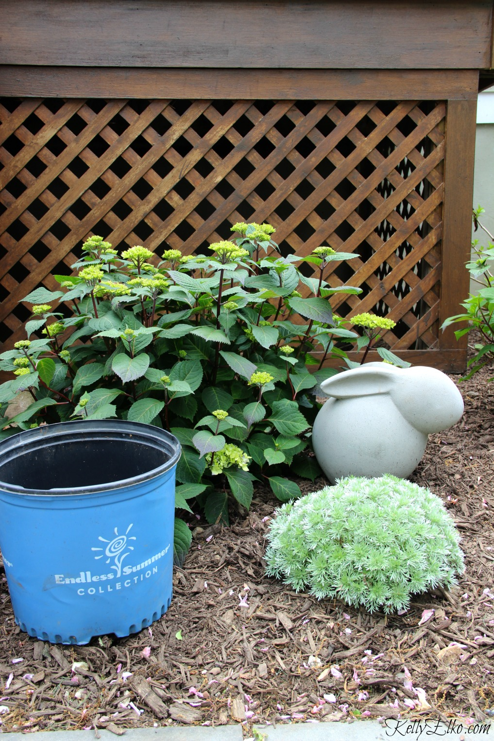 Endless Summer Hydrangeas come in the bright blue pot - there are four varieties but which one is right for you kellyelko.com