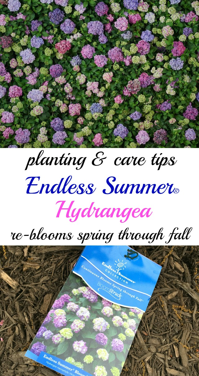 How to Plant Endless Summer Hydrangeas - this showstopper re-blooms spring through fall and it's a garden showstopper! kellyelko.com