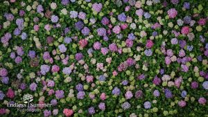 Endless Summer Hydrangeas – The Reblooming Hydrangea