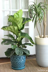 What the Fig? Fiddle Leaf Fig Care Tips
