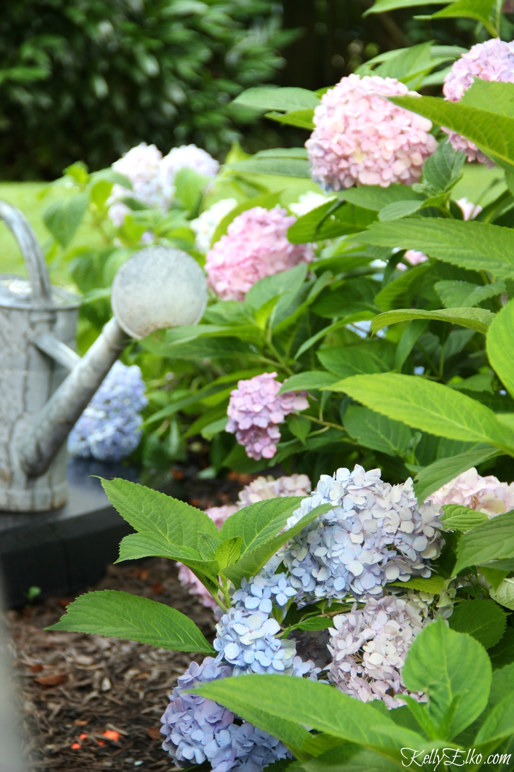 Pink and blue Endless Summer Hydrangeas kellyelko.com
