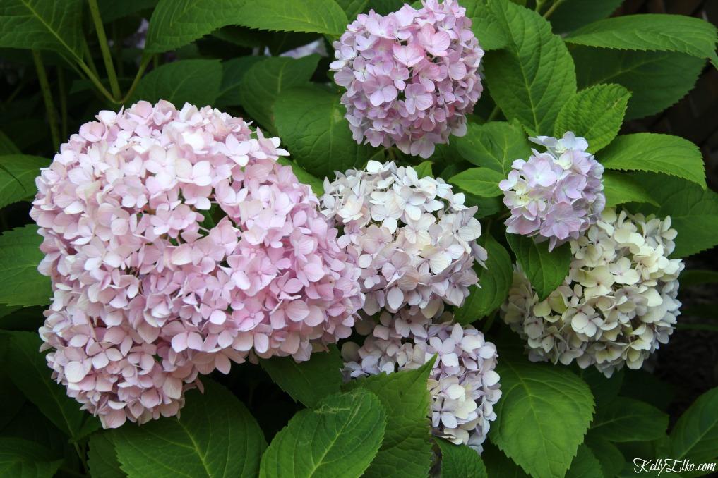 Hydrangea planting tips kellyelko.com