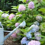 Simple Gardening Ideas and Tips - Love the easy to care for Endless Summer Hydrangea Hedge kellyelko.com #hydrangeas #gardens #gardening #gardeningtips #perennials