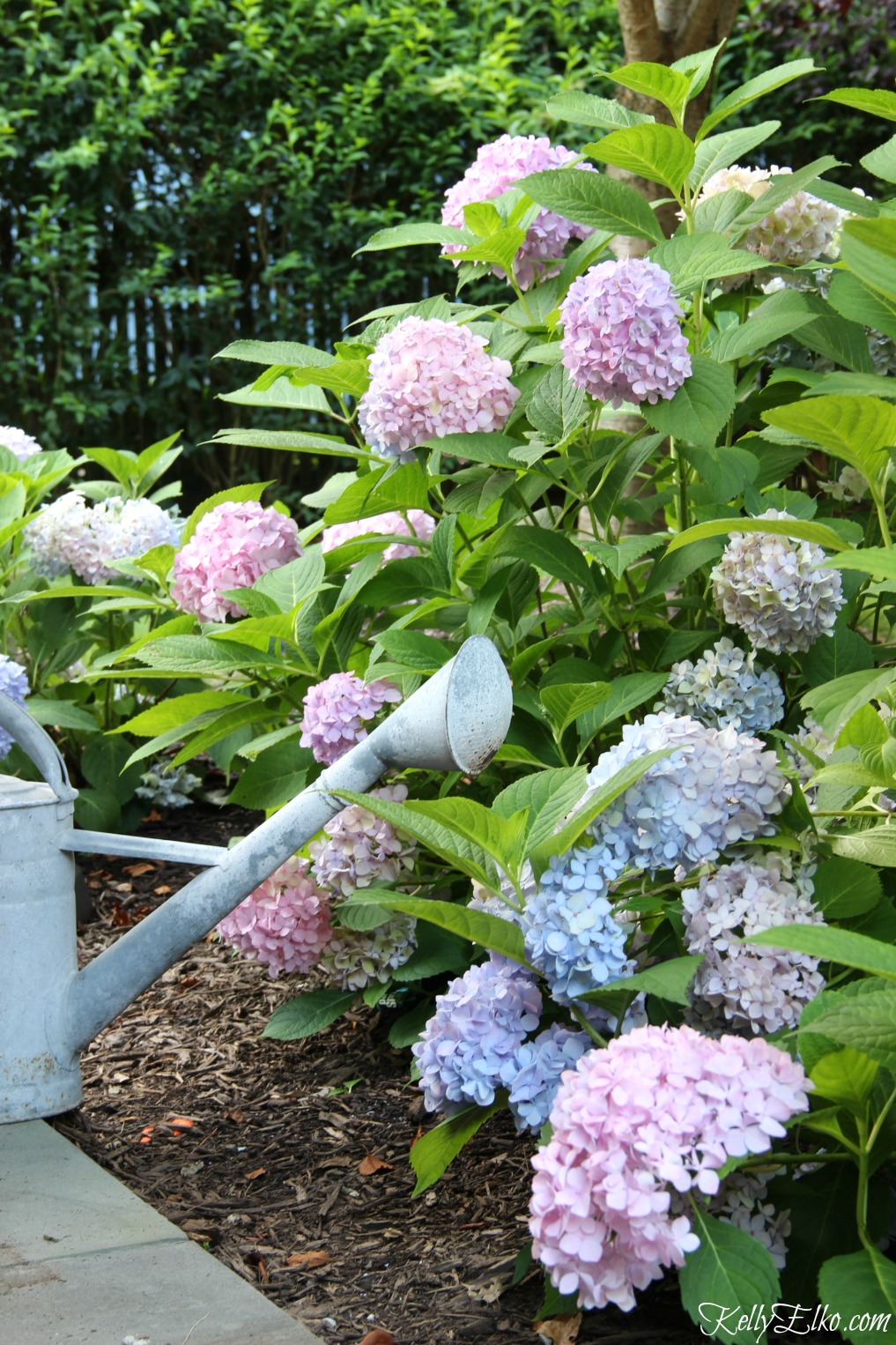 Endless Summer Hydrangeas make a gorgeous garden hedge kellyelko.com