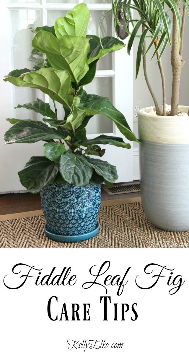 Fiddle Leaf Fig Care Tips - everything you need to know! kellyelko.com