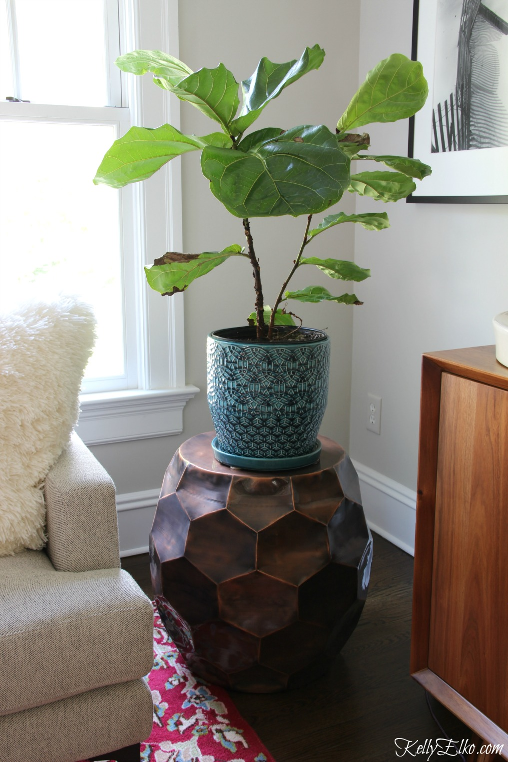 Everything you need to know so your fiddle leaf fig thrives kellyelko.com