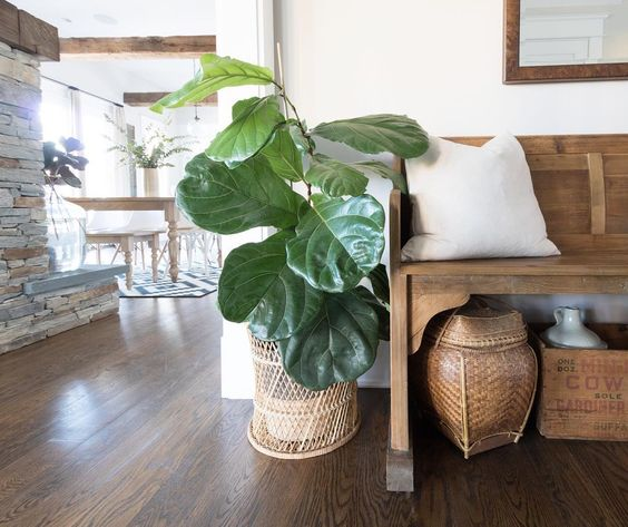 Fiddle leaf fig in an old basket planter