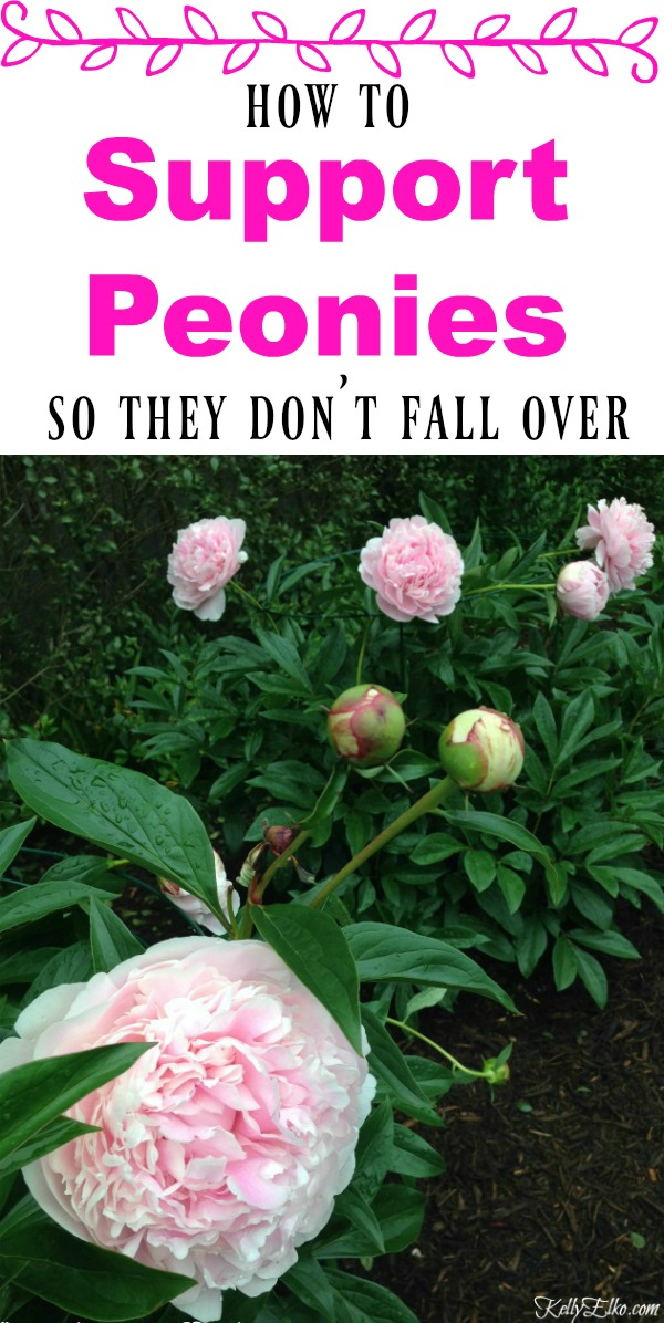 How to Support Peonies so they don't fall over and great tips on successfully growing peonies kellyelko.com #peonies #perennials #gardening #gardeningtips #gardens