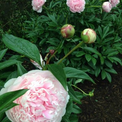 Peony Supports - how to support peonies so they don't fall over kellyelko.com