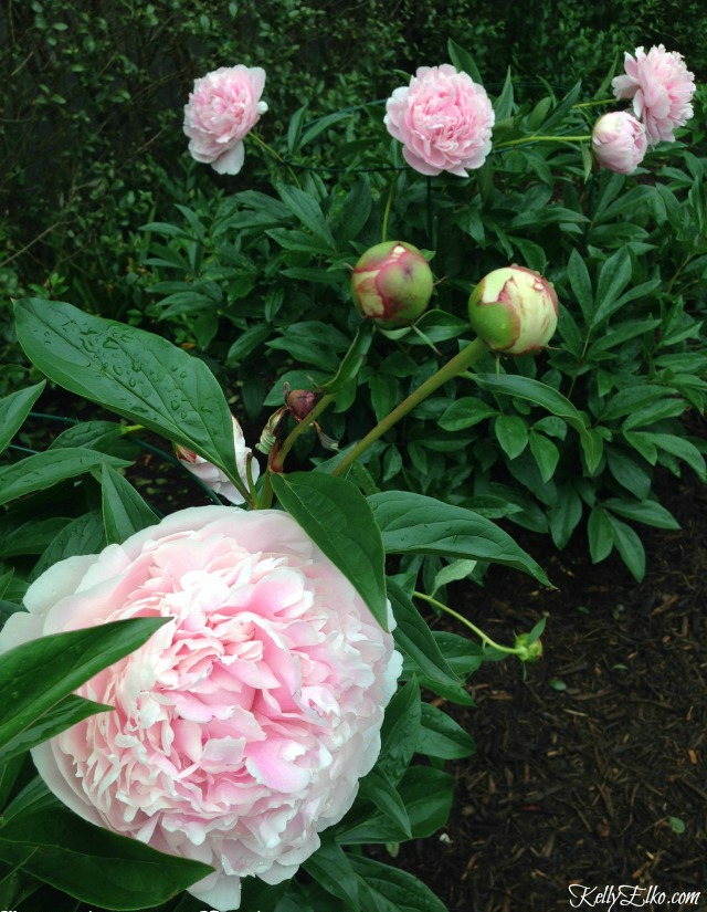 Peony Supports - how to support peonies so they don't fall over kellyelko.com #peonies #perennials #gardeningtips #gardening #gardens