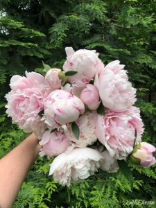 How to Make Peonies Last Longer