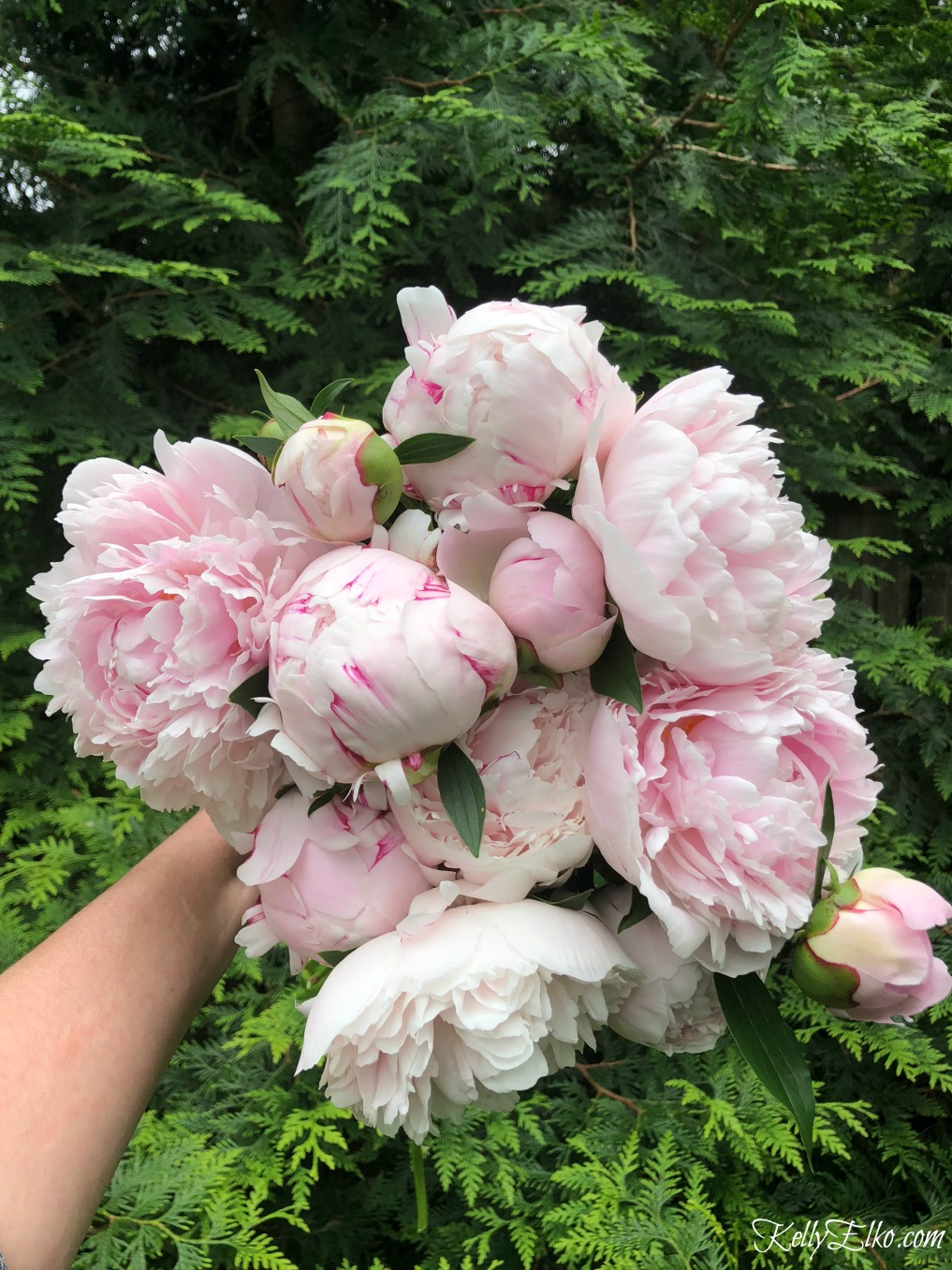 How to Make Peonies Last Longer! Tips for peony lovers so you can enjoy your blooms longer kellyelko.com #peonies #peony #perennials #gardening #gardeningtips #gardening