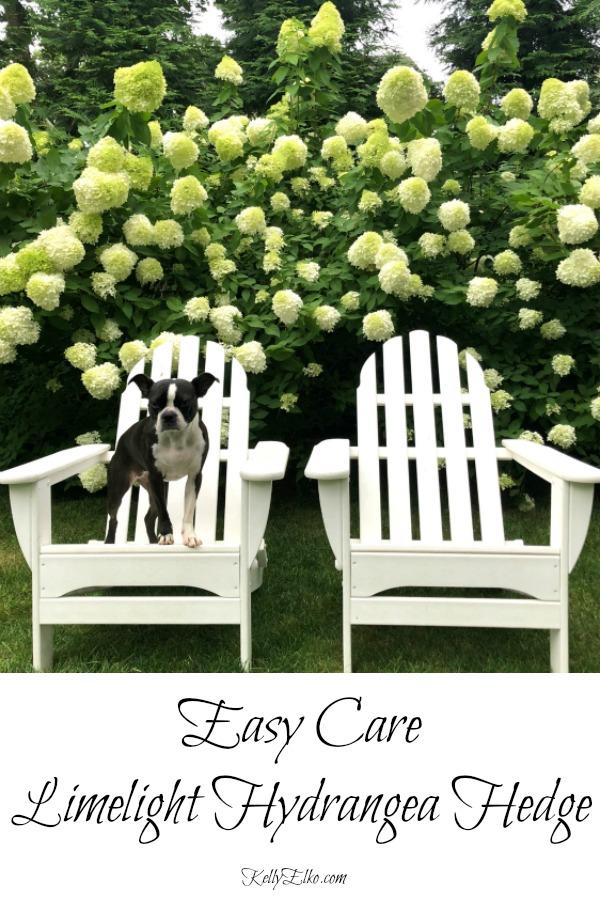 How to grow an easy care Limelight Hydrangea hedge kellyelko.com #gardening #gardens #gardeningtips #hydrangeas #perennials