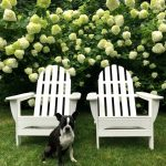 Limelight Hydrangea Hedge and Care Tips!