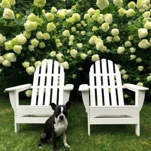 Limelight Hydrangea Hedge kellyelko.com #hydrangeas #limelighthyrangeas #gardening #gardeningtips #perennials #hedge