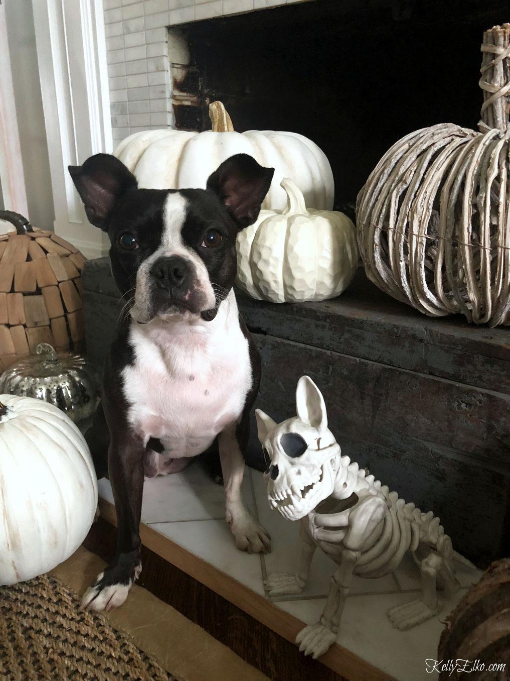 Dog skeleton with Boston Terrier! Such a fun Halloween decoration kellyelko.com #halloween #halloweendecor #halloweendecorating #skeleton #dogcostumes #falldecor