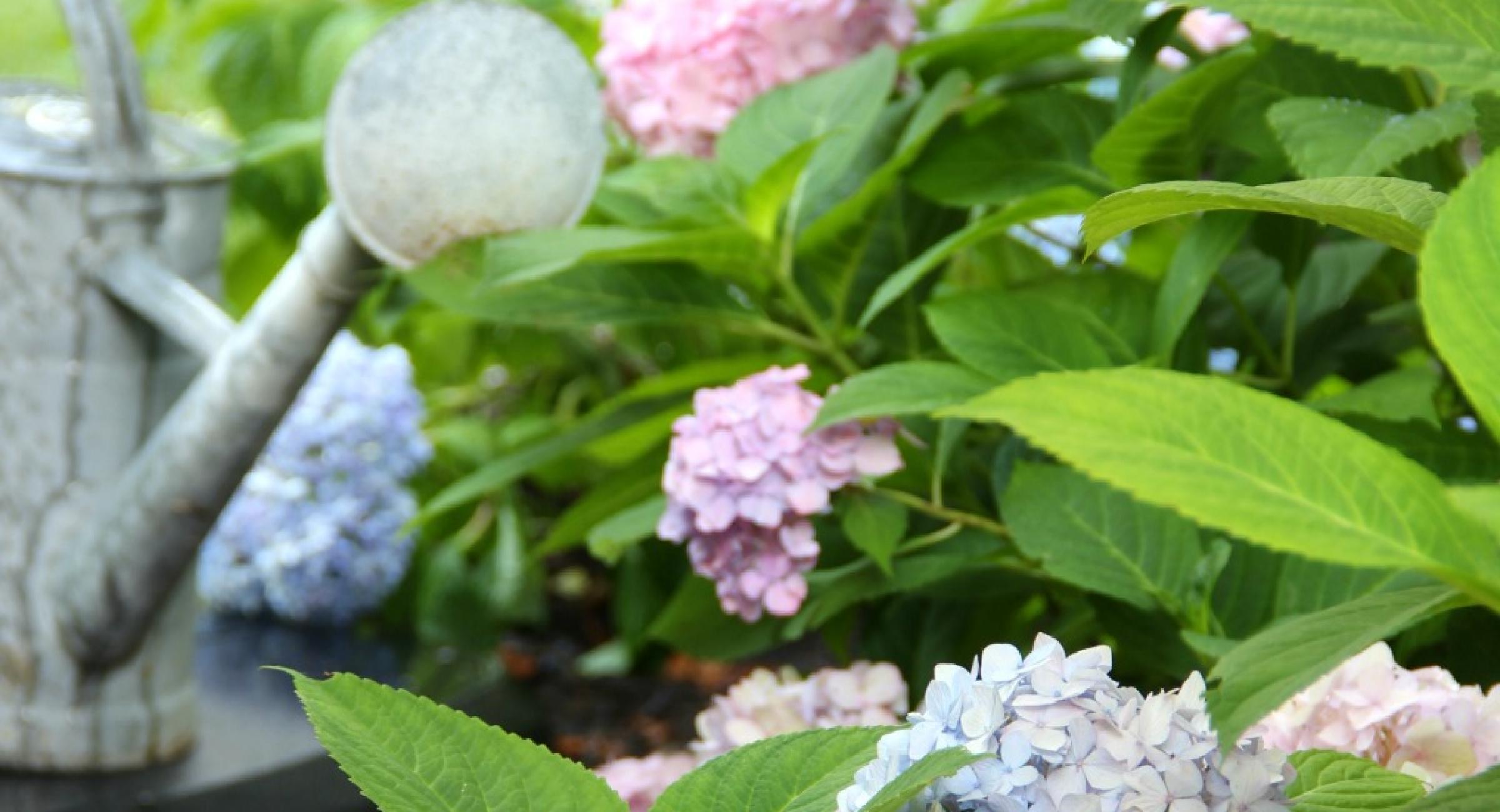 blue-pink-hydrangeas