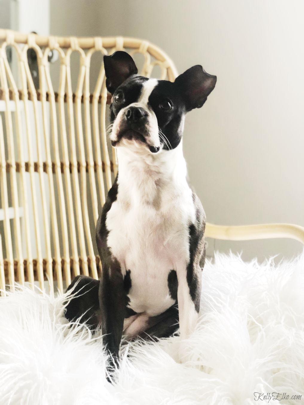 Boston Terrier glamour shot! kellyelko.com #bostonterrier #modeldog #dogmodel #cutedog #petphotography