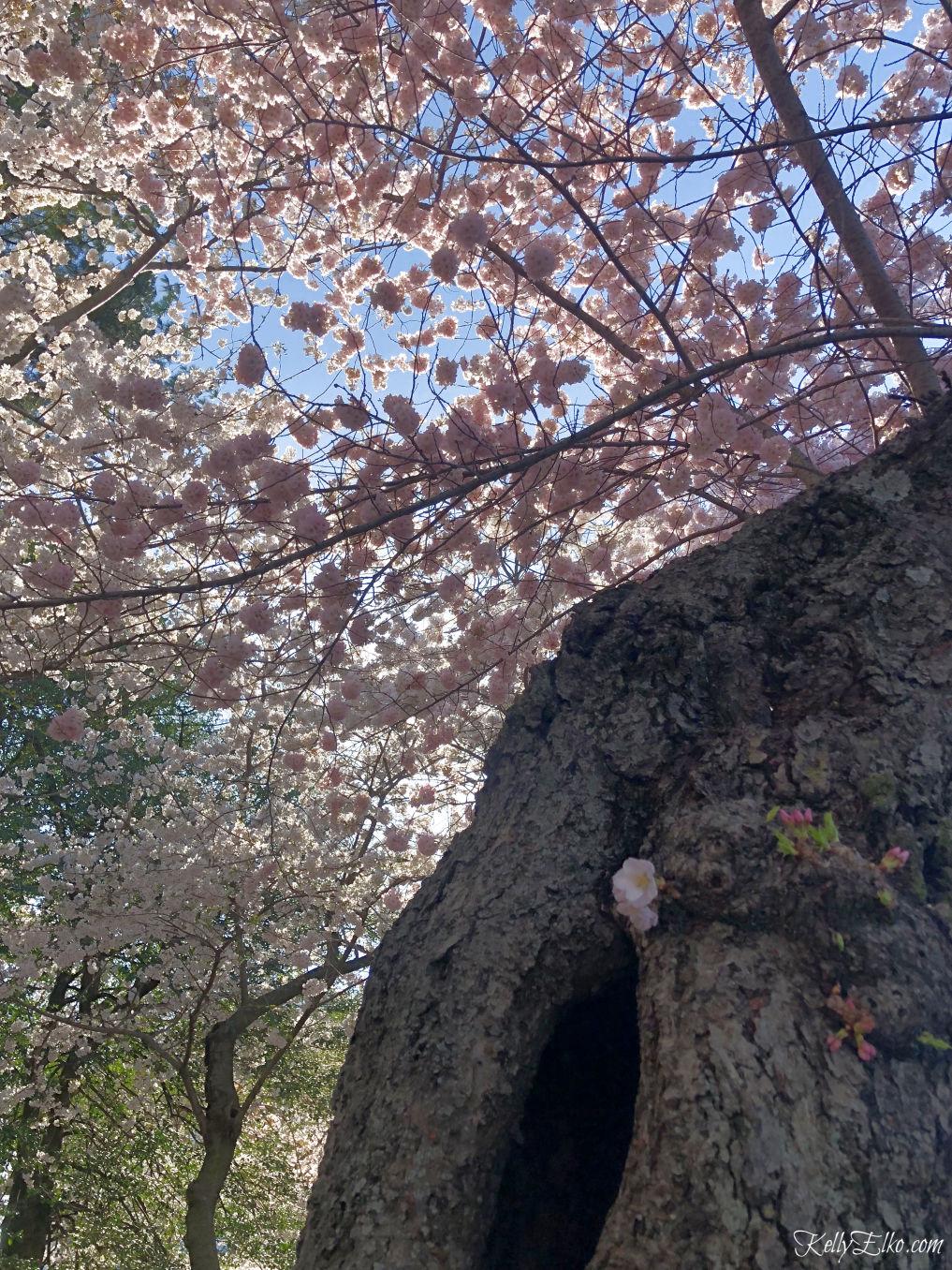 Cherry Blossoms in Washington, DC kellyelko.com #cherryblossoms #travel #travelblog #vacation